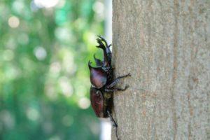 木に登っているカブトムシの写真