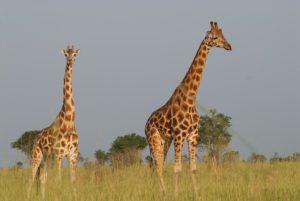 ウガンダキリンの写真