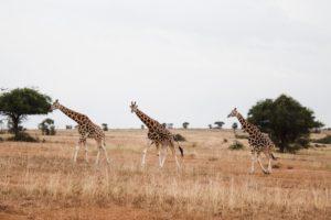 キリンの群れの写真