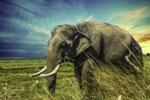 アジアゾウの写真