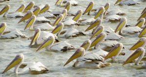 ペリカンの群れの写真